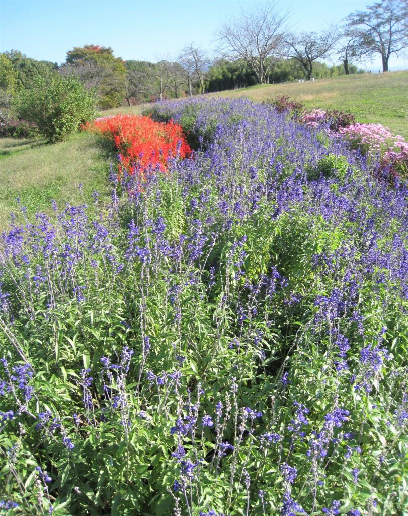 紫色が上品なサルビア・ファリナセア