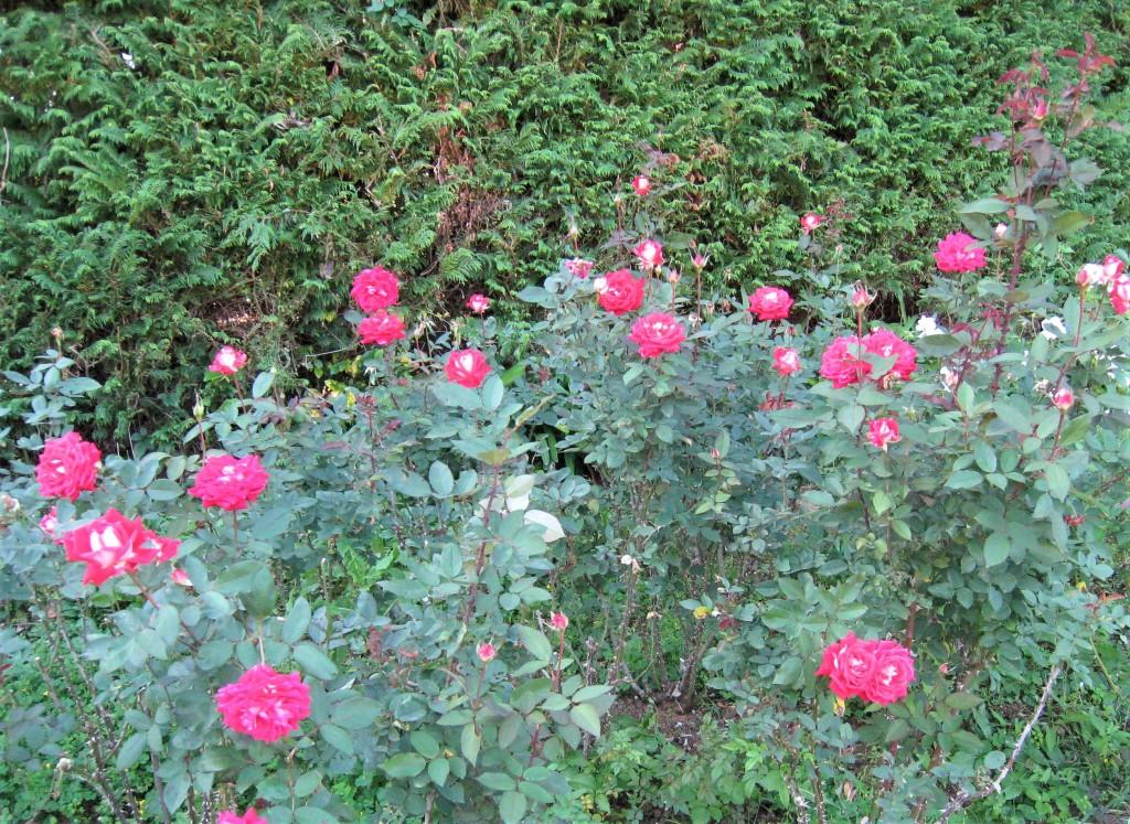 バラはだいぶ散っていましたが、まだ綺麗な品種も