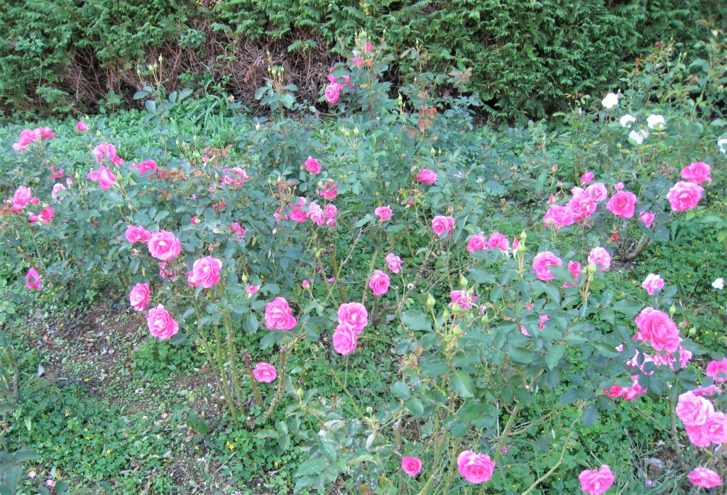 これは「うらら」というバラ