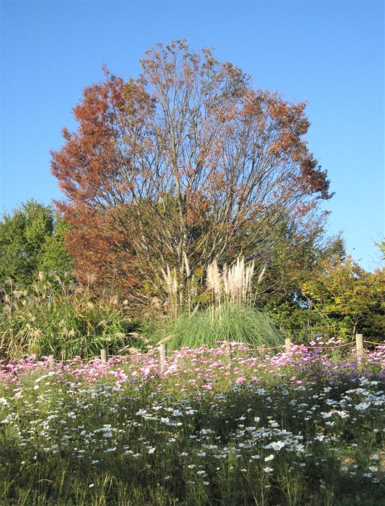 紅葉、ススキ、コスモス。いろんな秋がいっぱい