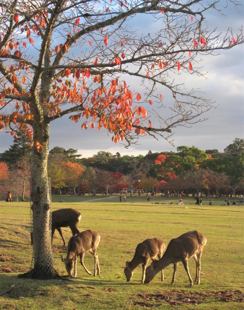 鹿ちゃんと紅葉は、やっぱり絵になります