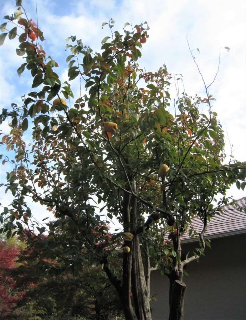 姉が「あれは何?」と指差す木を見たら、カリンの実が。