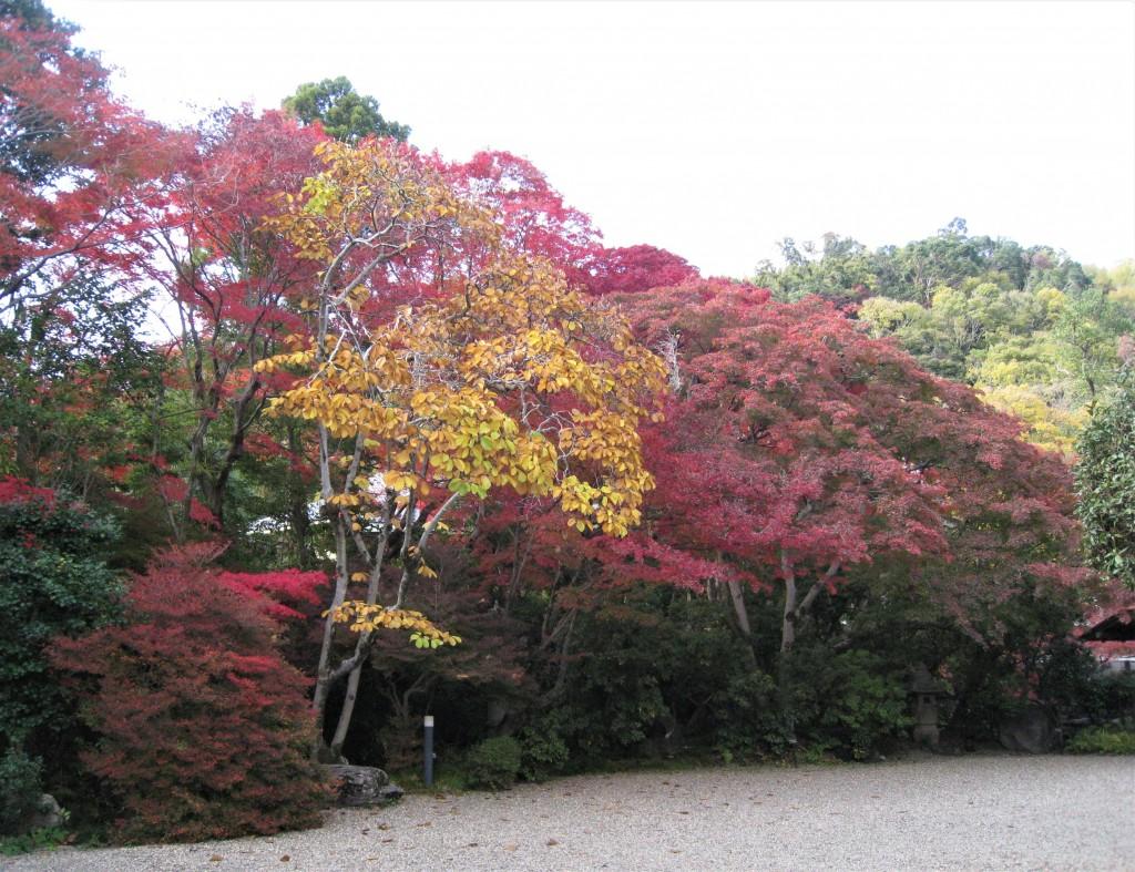 本館前にも紅葉が。イエローに色づいたハクモクレンが印象的でした